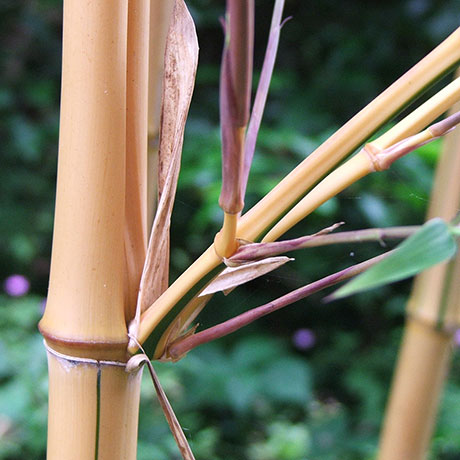 Buy mature bamboo