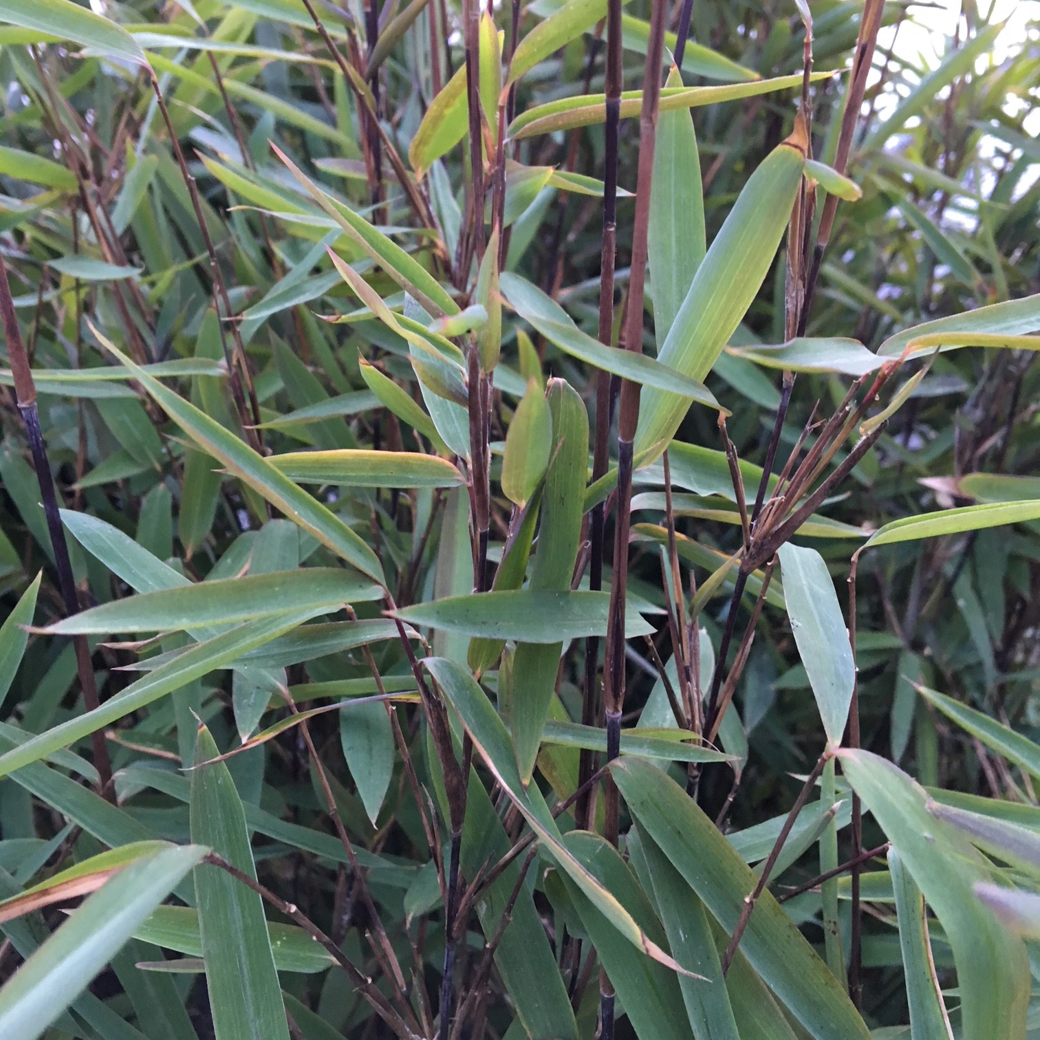 Looking Good Now List Buy Hardy Bamboo Plants Online From