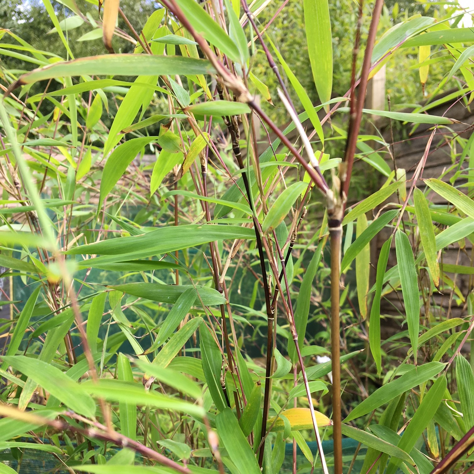 Tall And Specimen Bamboo Buy Hardy Bamboo Plants Online From