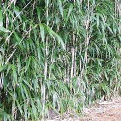 Many, in fact most, bamboo plants are suitable for hedging and screening. Many of the small to medium bamboos are ideal for creating short dense hedges. These are usually the Fargesias which are tight clump formers so plant them close to for a dense hedge
