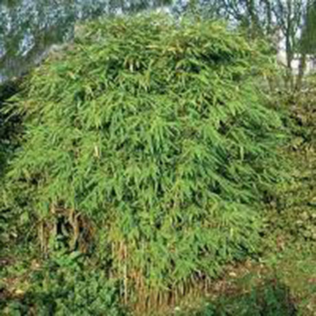 The bamboo plants classified as short-medium growing are usually forms of Fargesia. The Fargesia group of bamboo plants are very well behaved clump formers. The bamboo plants in this section will grow between 1m and 4m in height making them ideal.