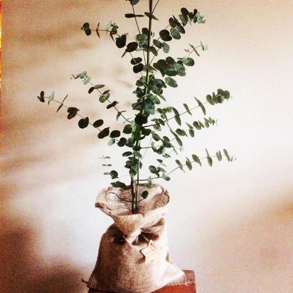 Gift Wrapped Eucalyptus Gunnii