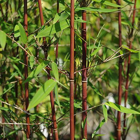 Fargesia Jiuzhaigou Red Caned Bamboo