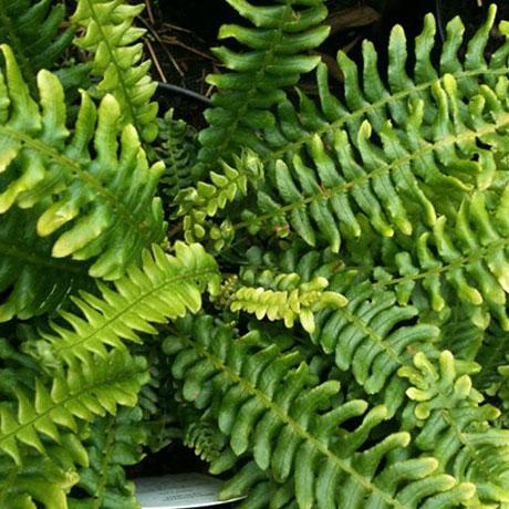 grasses and ferns buy hardy bamboo plants online from scotland mail