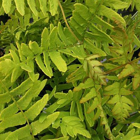 Osmunda Regalis Purpurea (Royal Fern)