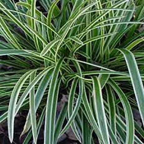 grass-carex-morrowii-2.jpg