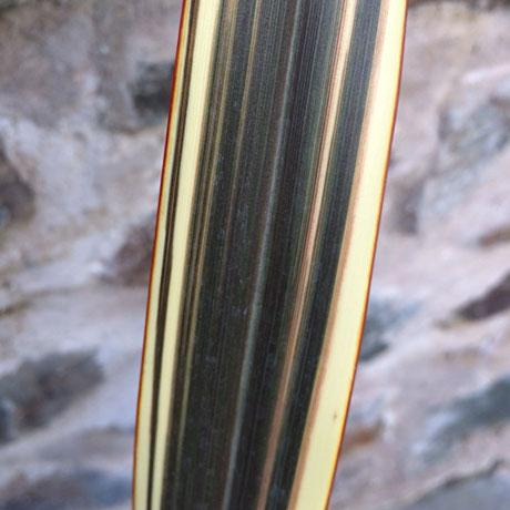 Phormium 'Eclipse' close up