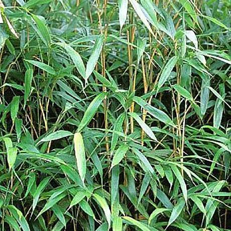 pseudosasa japonica 5 plant 5 metre length hedging bundle. Black Bedroom Furniture Sets. Home Design Ideas